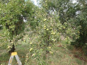 hidden orchard eureka st apple tree