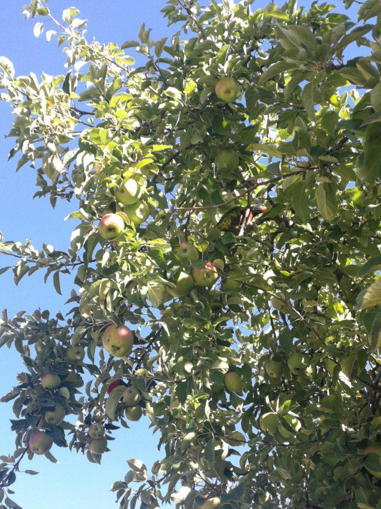 Rosella in apple tree