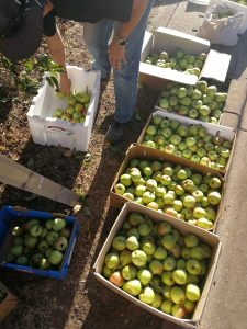 Apple Harvest Brown Hill The Hidden Orchard